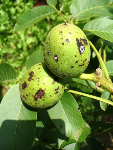 Anthracnose sur fruit